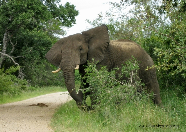 """Elephant in Kruger National Park, in the province of Mpumalanga, South Africa"""